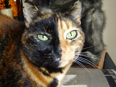 Rugrat (Tjflex2) Tags: orange cats black topf25 face feline chat pretty blind kitty views 500 8yearsold gatto 2tone cc200