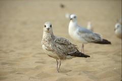 DSC_1272 (RenaissanceVector) Tags: birthday bird beach netherlands d50 nikon scheveningen seagull bram bob martijn dunja iwan nikkor18200vr