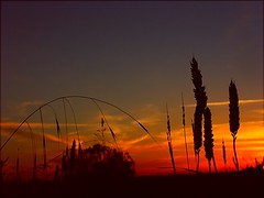Dawn Harvest (algo) Tags: blue red sunrise photography dawn topf50 bravo searchthebest quality topv1111 chilterns topv999 crops topv777 algo topf100 birdpoem 1on1sunrisesunsetsphotooftheday abigfave