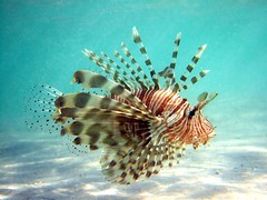 lionfish by jayhem, on Flickr