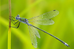 blue tailed damsel fly (ChrisBrookesPhotography.co.uk) Tags: uk blue chris brown nature beautiful wow ilovenature photography moss interestingness amazing nice interesting fantastic topv333 flickr shropshire minolta near great reserve explore excellent 5d konica dynax flickrwow damselfly whitchurch tailed brookes invertebrate a41 elegans creepycrawly oswestry ischnura scoopt i500 a525 cbrookes75 brownmossnaturereserve brownmosswhitchurchshropshireunitedkingdom chrisbrookes httpwwwchrisbrookesphotographycouk