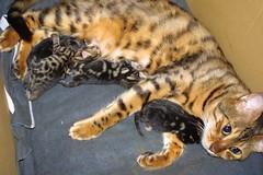 Lula's Kittens (Zulpha) Tags: lady cat kitty kittens pride lula bengal ladylula zulpha greatmeal