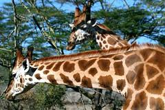 A Long Neck ?---How Long Was It ??? (Picture Taker 2) Tags: africa nature beautiful animal animals wildlife giraffe wilderness upclose mammals wildanimals lakenakuru rothchildsgiraffe africaanimals