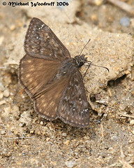 Propertius Duskywing (Michael Woodruff) Tags: california park ca brown butterfly nationalpark july national yosemite yosemitenationalpark dorsal midsize hesperiidae bmna duskywing pyrginae yosemitenp erynnis erynnispropertius propertiusduskywing propertius