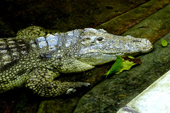 croco 2 (bea2108) Tags: animal animals zoo reptile crocodile specanimal animalkingdomelite