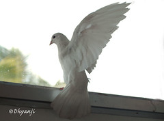 peace-fly (dhyanji) Tags: pets india bird nature pigeon dove whitedove dhyanji