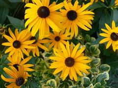 P1070158 (solaphobe) Tags: flowers flower blackeyedsusan