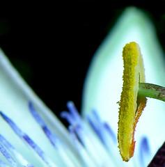flor de la passió (desdibuix - miquel) Tags: flower macro flor passion passiflora desdibuix flordelapassió