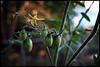 lycopersicon (jaymce) Tags: usa chicago green fruit yard garden illinois bokeh tomatoes walker sprout christians humboldtpark jaymce chicagoist lycopersicon bokehsoniceaugust bokehsoniceaugust11