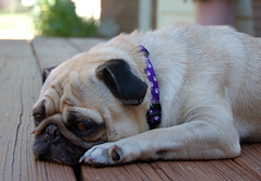 Don't You Want to Love On Me? My sister's Pug sowing his puppy face (joschmoblo) Tags: copyright dog tag3 taggedout d50 george nikon tag2 tag1 pug 18200 allrightsreserved 2007 joschmoblo christinagnadinger