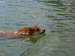 Swimming Shiba