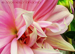 when i grow up, i want to be a gardener... (Kelly Angard) Tags: dahlia flower nature beauty canon blossom grace peony utata knowledge bloom strength wisdom elegant kreativekell someday kellya kellyangard whenigrowup gardenofthesoul thesewordsresonnatedeepwithin efs1755mm kellyafineartphotography digitalrebelxtefs1755mm
