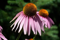 Purple Coneflower (echinacea) (RobDurfee) Tags: gardens closeup botanical purple stlouis missouri coneflower missouribotanicalgardens echinacia bokehsoniceaugust bokehsoniceaugust11