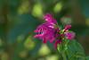 Salvia littae (Eric Hunt.) Tags: pink flower mexico bokeh salvia oddshaped lamiaceae wfgna ucberkeleybotanicalgarden bokehsoniceaugust bokehsoniceaugust11 salvialittae