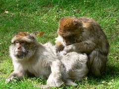 Monkey Massage! - by johnmuk