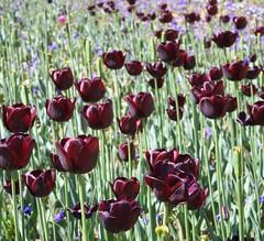 Tulips (ziggiau) Tags: flowers green purple australia canon350d canberra act floriade