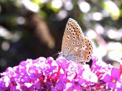 Schmetterlingsstrauch