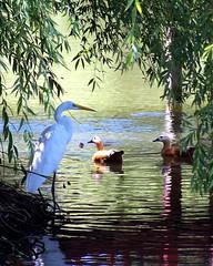 patience (pixability) Tags: bird geotagged waiting crane patience allrightsreserved pixability utataverse geo:lat=38603448 geo:lon=122599863 bgoldman