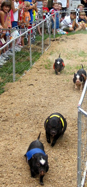 Pot-bellied pig race