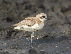 斷右腳的鐵嘴行鳥 Broken legged Greater Sand Plover