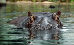 Hippo (C) 2006