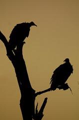 What we gonna do? (Wildcaster) Tags: africa nature birds wildlife conservation 2006 aves safari zimbabwe southernafrica africanwildlife africanbirds malilangwe wildlifeconservation wildcasting greatlimpopotransfrontierpark wildlifedocumentary wildlifeeducation gonarezhou wildcastselect
