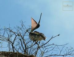 Pelicano Playa los Frailes #allyouneedisecuador #terrasenses (Terrasenses & Etica Events) Tags: playa animales ecuador equateur