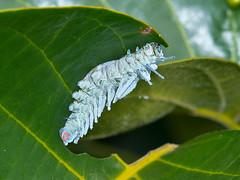 Atlasspinner (Eerika Schulz) Tags: schmetterlingsraupe caterpillar thailand atlasspinner atlas moth attacus