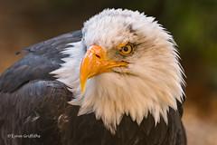 Bald Eagle - Looking mean D50_5531.jpg (Mobile Lynn) Tags: hawkconservancytrust birdsofprey birds baldheadedeagle nature captive baldeagle bird birdofprey fauna raptor wildlife testvalleydistrict england unitedkingdom gb