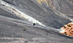 A Raven Soaring in the Ubehebe Crater (Death Valley National Park) (thor_mark ) Tags: atubehebecrater birdflying bird birdinflight capturenx2edited colorefexpro day4 deathvalleynationalpark desertlandscape lookingeast nature nikond800e project365 raven raveninflight triptodeathvalleyandcalifornia ubehebecrater volcaniccrater volcanicpast california unitedstates