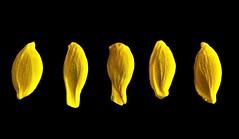 Lemon! (Les Fisher) Tags: sliderssunday lemon pips onblack