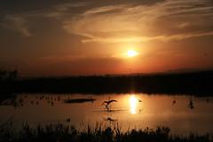 Les noces d'or (Emmanuelle2Aime2Ailes) Tags: eau reflets oiseaux etang mouettes soleilcouchant flamantsroses