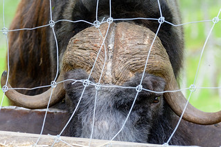 Closeup of a muskox