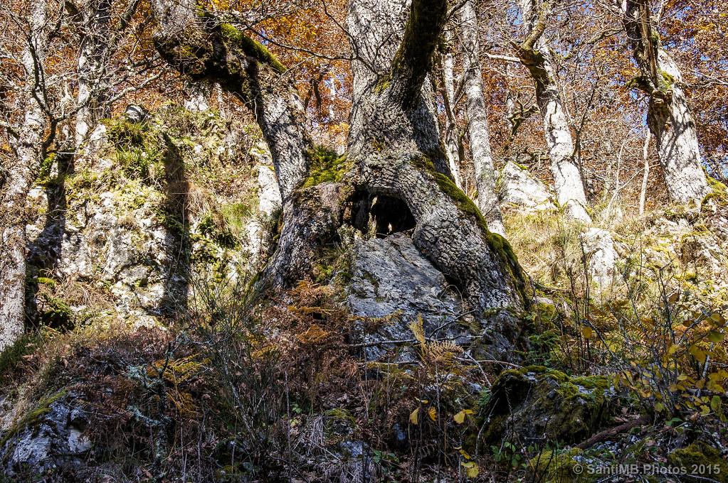 El árbol que comía rocas