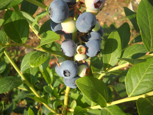 LArge Blueberry and Green nice fruits a Jun 5, 2015