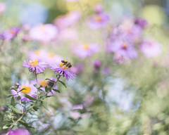 last chance (monorail_kz) Tags: flowers autumn sun green purple bokeh september bee honey helios442