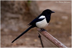 Urraca Comn (Parque del Retiro, Madrid) (Frabairod) Tags: madrid espaa naturaleza nature birds canon spain ave tamron picapica pjaro 6d parquedelretiro urracacomn
