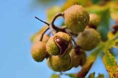 Horse Chestnuts (Aesculus hippocastanum) (35mmMan) Tags: autumn england horse tree nature 50mm nikon chestnut hertfordshire conker aesculus hippocastanum d5300