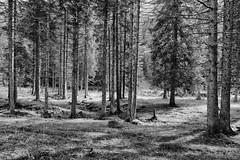 The Wood (drugodragodiego) Tags: wood trees blackandwhite bw italy nature blackwhite pentax kick natura lombardia biancoenero breno bosco k3 gaver bagolino vallecamonica vallesabbia provinciadibrescia smcpentaxda1224mmf4edalif pentaxda1224mm valledelcaffaro pentaxiani pentaxk3