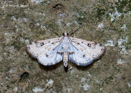 Parapoynx stratiotata (Linnaeus, 1758) ♂