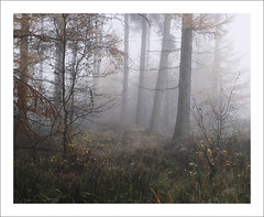 FOUR OF A KIND (SwaloPhoto) Tags: autumn trees mist fog scotland fife forestry trunks commission forests fcs devillaforest fujixt1 fujinonxf18135mm f3556rlmoiswr