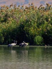 Cranes (Ilia K.) Tags: park blue autumn sky bird fall nature crane wildlife hula flight reserve clear valley migration emekhahula hulavalley natioanlpark