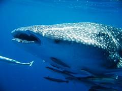 Whale shark, Seychelles © Alexey Stiop / Dreamstime