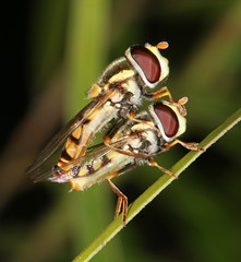 Double-decker (Jenny Thynne) Tags: insect australia brisbane queensland mating syrphidae diptera hoverflies
