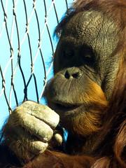 Think Freedom (J.T. Lindroos) Tags: lumix zoo ape louisville orangutang louisvillezoo panasoniclumix fz70 dmcfz70
