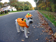Pumpkin (Eric.Ray) Tags: canon digital s100 doglovers dog maggiemae pumpkin fall halloween outdoors costume street orange pet puppy