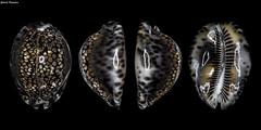 Mauritia maculifera maculifera (GaboUruguay) Tags: sea hawaii marine shell australia exotic seashell concha rare dier animale animalia mollusca gastropoda caracola caracol gastropod loom tier conch nga elin kewan cowrie dabba djur anifeiliaid besto biby dr zve cypraea cowry gasteropodo annimali mauritia zwierz haiwan conchillas zviera vt conchology kararehe cypraeidae cypraeoidea hypsogastropoda caenogastropoda llati wanyama caracolmarino gyvnas kafsh xoolaha dierlijk ainmhithe littorinimorpha maculifera mananap chinyama bt dzvnieks reticulatedcowry tsiaj gabouruguay kaurischnecken anman eranko phoofolo blotchedcowry