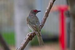 Male Fig Bird (Patricia Woods) Tags: urban birds australianbirds nativebirds