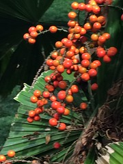 Beady red (corsi photo) Tags: flower nature floral foliage bead beady kauaihawaii