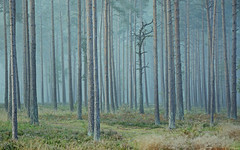 Old Man of the Woods (Simon Verrall) Tags: autumn trees mist forest alone surrey september pinetrees morningmist 2015 frensham scotspine